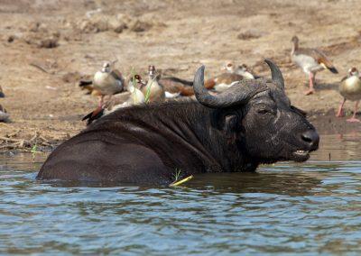 Wasserbüffel, Queen Elisabeth NP, Uganda