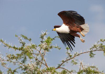 Seeadler, Queen Elisabeth NP, Uganda