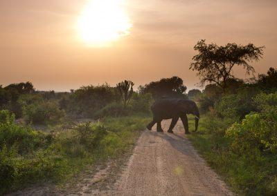 Elefant, Uganda