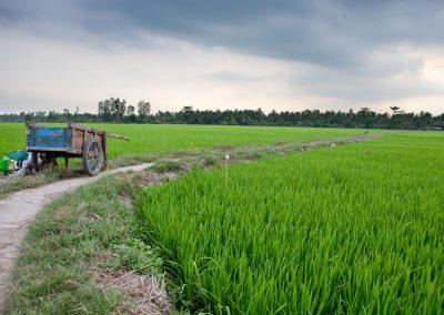 Reisfeld am Mekong, Vietnam