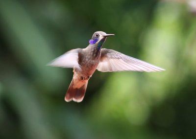 Colibri, Costa Rica