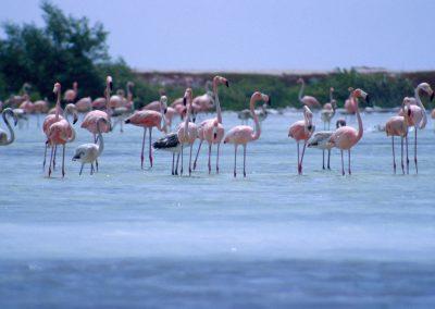 Flamingos, Bonair